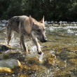 Wolf in a river — Stock Photo