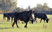 Camargue bulls — Stock Photo