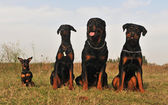Three guard dogs and pinsher — Stock Photo