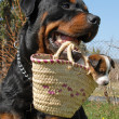 Rottweiler and puppy — Stock Photo #1887456