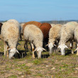 Herd of sheeps - Stock Photo