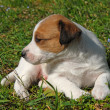 Puppy jack russel terrier — Stock Photo #1888011