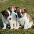 Three puppies jack russel terrier — Stock Photo #1888158