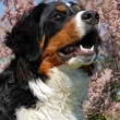 Young bernese mountain dog — Stock Photo