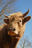 Head of bull — Stock Photo