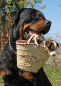 Rottweiler and puppy — Stock Photo