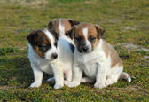 Three puppies jack russel terrier — Stock Photo