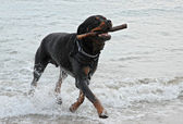Rottweiler playing in the sea — Stock Photo