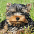 Royalty-Free Stock Photo: Puppy yorkshire terrier