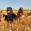 Stock Photo: Four dogs