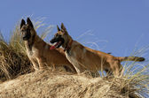 Two young malinois — Stock Photo
