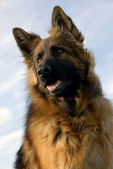 Portrait of a purebred german shepherd — Stock Photo