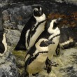 Stock Photo: Guillemots penguins
