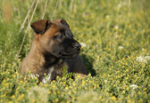 Puppy belgian shepherd — Stock Photo