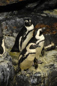 Guillemots penguins — Stock Photo