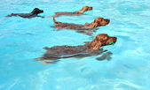 Swimming dogs — Stock Photo