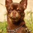 Royalty-Free Stock Photo: Chocolate chihuahua