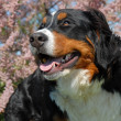 Stock Photo: Young bernese mountain dog