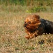 Running yorkshire terrier — Stock Photo