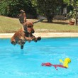 Stock Photo: Jumping cocker spaniel