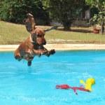 Jumping cocker spaniel — Stock Photo