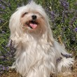 Maltese dog — Foto Stock