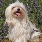 Maltese dog — Stock Photo #1918117