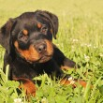 Puppy rottweiler — Stock Photo #1918869
