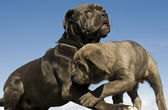 Italian mastiff mother and puppy — Stok fotoğraf