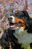 Young bernese mountain dog — Stock Photo