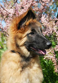 Puppy tervuren — Stock Photo