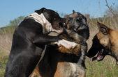 Biting pit bull — Stock Photo