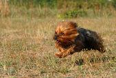 Running yorkshire terrier — Stock Photo