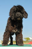 Puppy portuguese water dog — Stock Photo