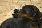 Rottweiler and miniature rooster — Stock Photo