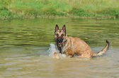 Swimming malinois — Stock Photo