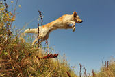 Springen hund — Stockfoto