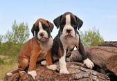 Puppies boxer — Stock Photo