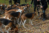 Fox hunting — Foto Stock