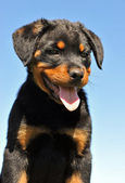 Puppy rottweiler — Stock Photo