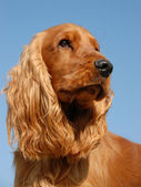 Portrait of english cocker — Stock Photo