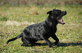 Béant stafforsdshire bull terrier — Photo