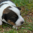 Little puppy jack russel terrier — Stock Photo