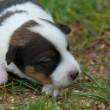 Little puppy jack russel terrier — Stock Photo #1920282