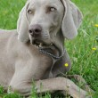 Puppy weimaraner dog — Stock Photo