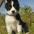 Puppy border collie — Stock Photo #1939019
