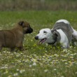 Greyhound and puppy sheepdog — Stock Photo