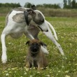 Greyhound and puppy shepherd — Stock Photo #1939303