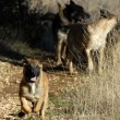 Stock Photo: Running puppy malinois