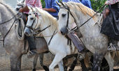 Camargue horses — Stock Photo